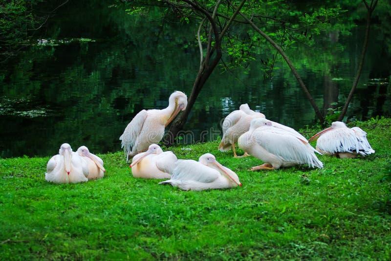 Menge von den weißen großen Pelikanen, die auf dem Ufer stillstehen stockfotografie