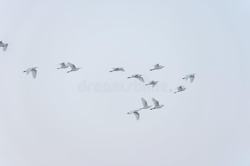 Menge von den weißen Vögeln, die in grauen Himmel fliegen stockbild
