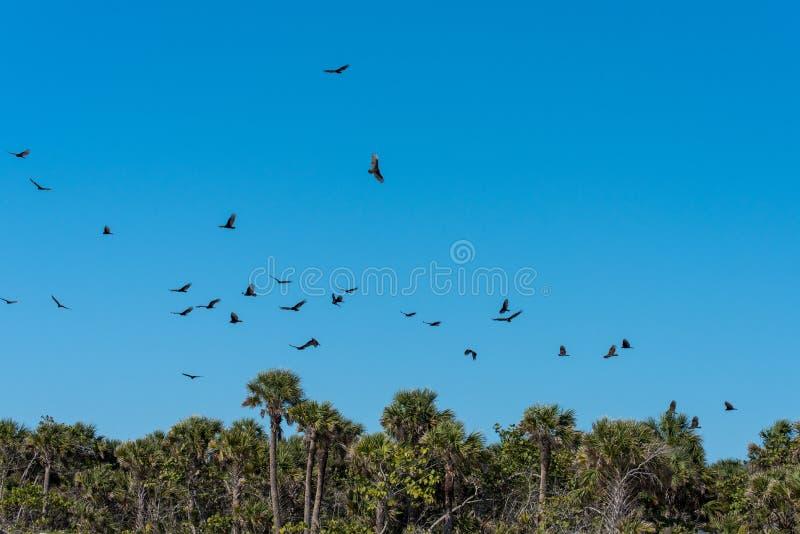 Menge von die Türkei-Geiern, die über Konzentration von toten Fischen auf Süd- West-Florida einkreisen, setzen auf den Strand lizenzfreie stockfotografie