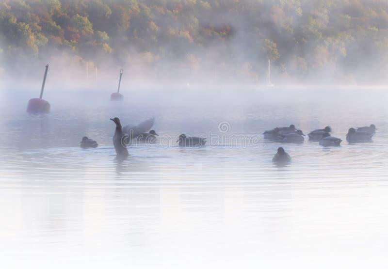 Menge von Enten in der frühen Dämmerung des nebelhaften, traumhaften Wassers Bunter Herbstwald im Hintergrund stockfotos