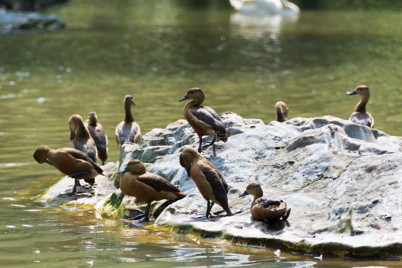 Menge von Enten in einem See lizenzfreie stockfotos