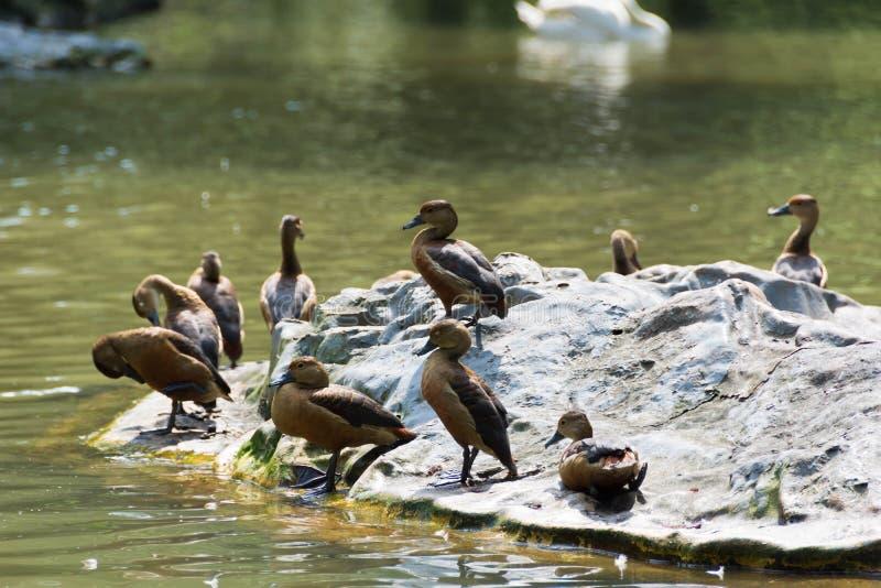 Menge von Enten in einem See lizenzfreies stockbild