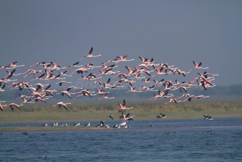 Menge von Flamingos im Flug lizenzfreie stockbilder