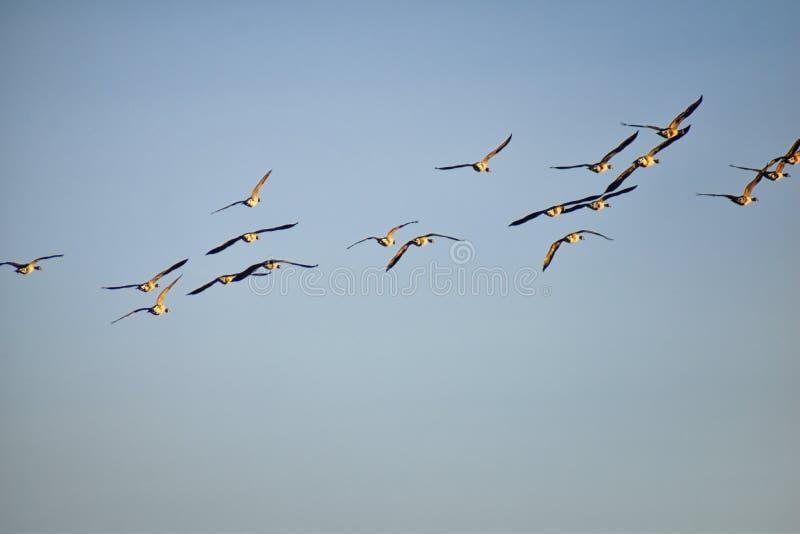 Menge von Kanada-Gänse Branta canadensis im Flug gegen blauen Himmel, Spezies einer große wilde Gans mit einem schwarzen Kopf und stockfotos