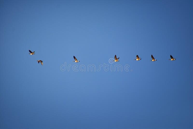 Menge von Kanada-Gänse Branta canadensis im Flug gegen blauen Himmel, Spezies einer große wilde Gans mit einem schwarzen Kopf und stockfoto