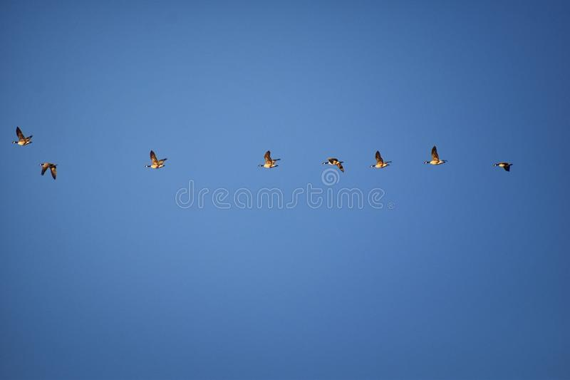 Menge von Kanada-Gänse Branta canadensis im Flug gegen blauen Himmel, Spezies einer große wilde Gans mit einem schwarzen Kopf und lizenzfreies stockbild