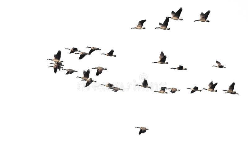 Menge von Kanada-Gänsen, die auf einen weißen Hintergrund fliegen lizenzfreie stockfotos