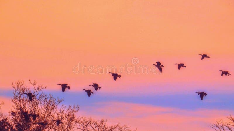 Menge von Kanada-Gänsen, die in Bildung durch einen orange Sonnenuntergang-Himmel fliegen stockbilder