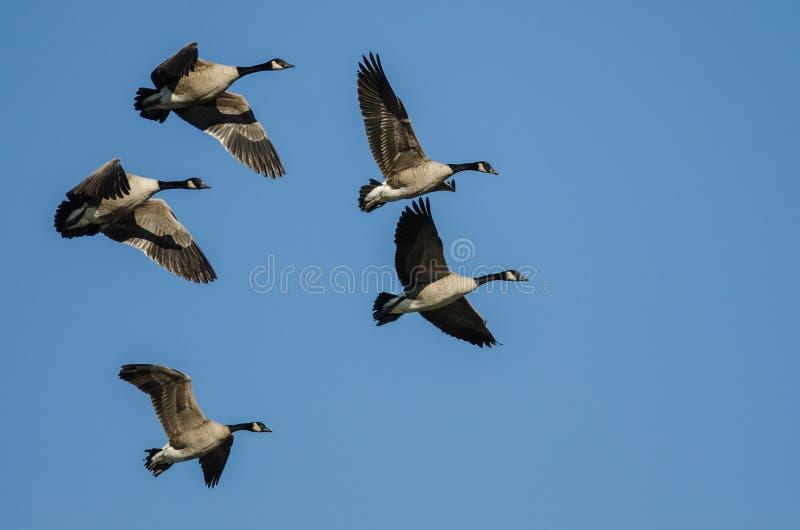 Menge von Kanada-Gänsen, die in einen blauen Himmel fliegen lizenzfreie stockfotos