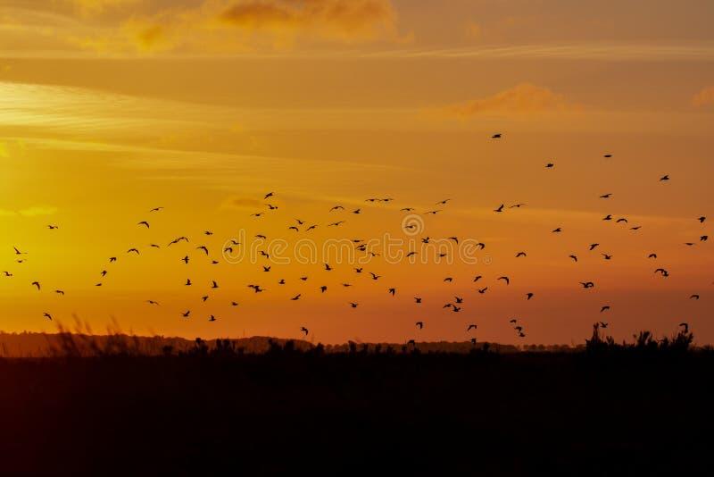 Menge von Mövenvögeln reisen über den Sonnenuntergang in Norfolk lizenzfreies stockfoto