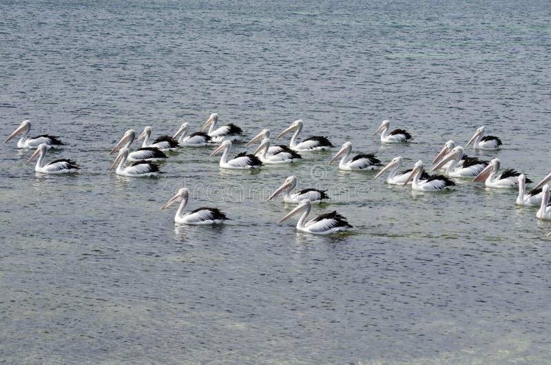 Menge von Pelikanen stockfotografie