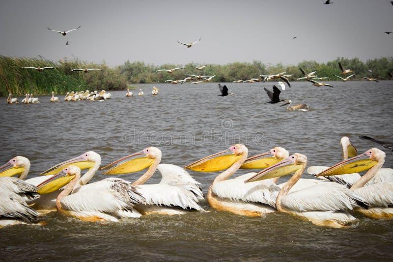 Menge von Pelikanen in Nationalpark Djoudj lizenzfreie stockbilder