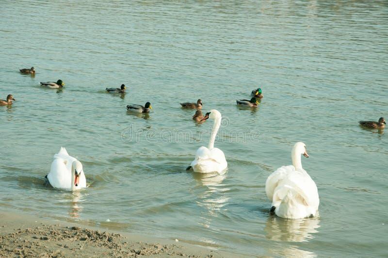 Menge von schönen weißen Höckerschwänen schwimmen im blauen Wasser, das durch selektiven Fokus der Enten umgeben wird stockfotografie