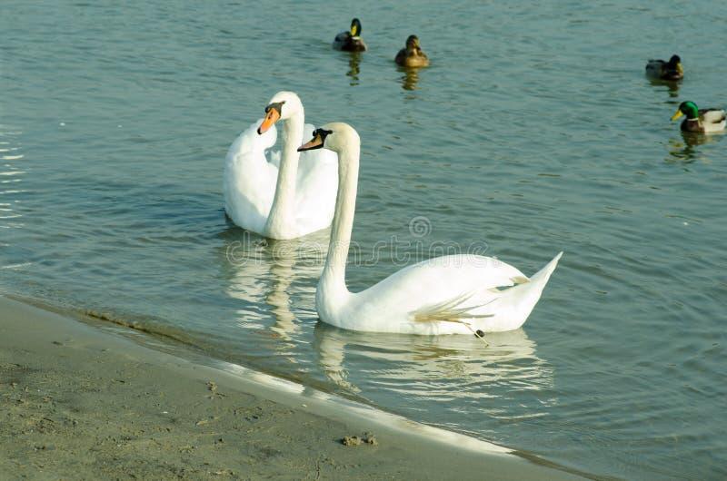 Menge von schönen weißen Höckerschwänen schwimmen im blauen Wasser, das durch selektiven Fokus der Enten umgeben wird lizenzfreie stockfotos