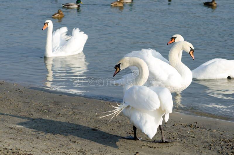 Menge von schönen weißen Höckerschwänen schwimmen im blauen Wasser, das durch selektiven Fokus der Enten umgeben wird stockfotos
