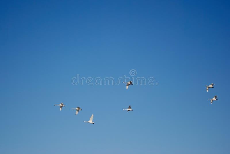 Menge von Schwänen im blauen Himmel lizenzfreie stockfotografie