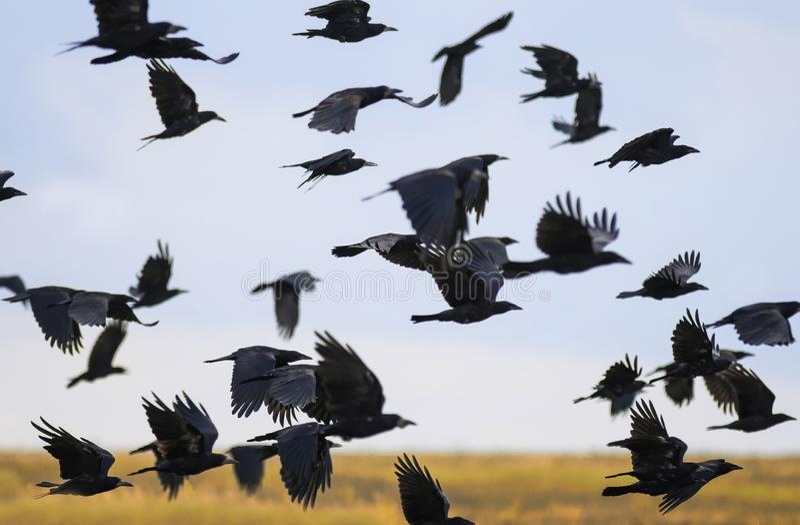 Menge von schwarzen Vögeln kräht und Türme fliegen Menge über plem im Herbst gegen blauen Himmel stockfoto