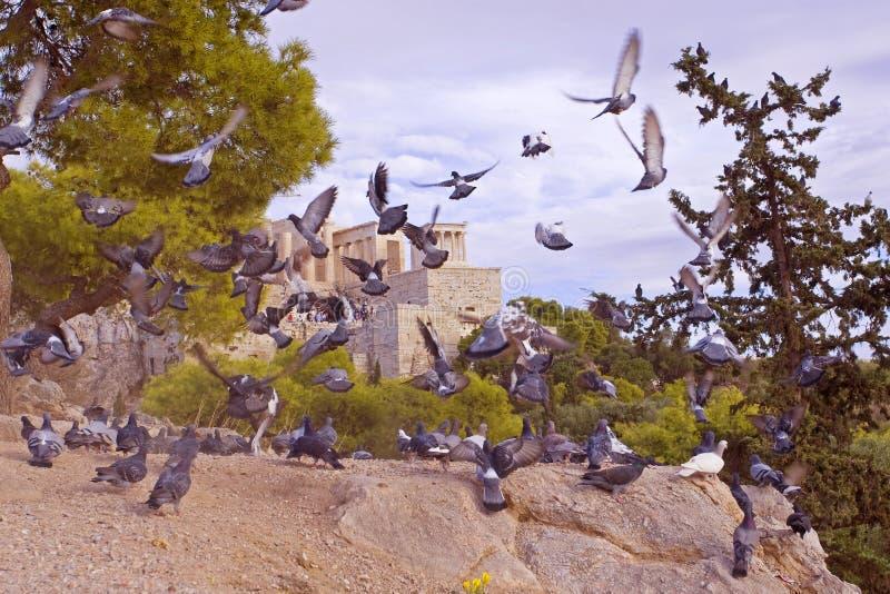 Menge von Tauben zerstreut von der Ansicht des Tempels Erechteion in Akropale in Athen, in Griechenland lizenzfreie stockbilder