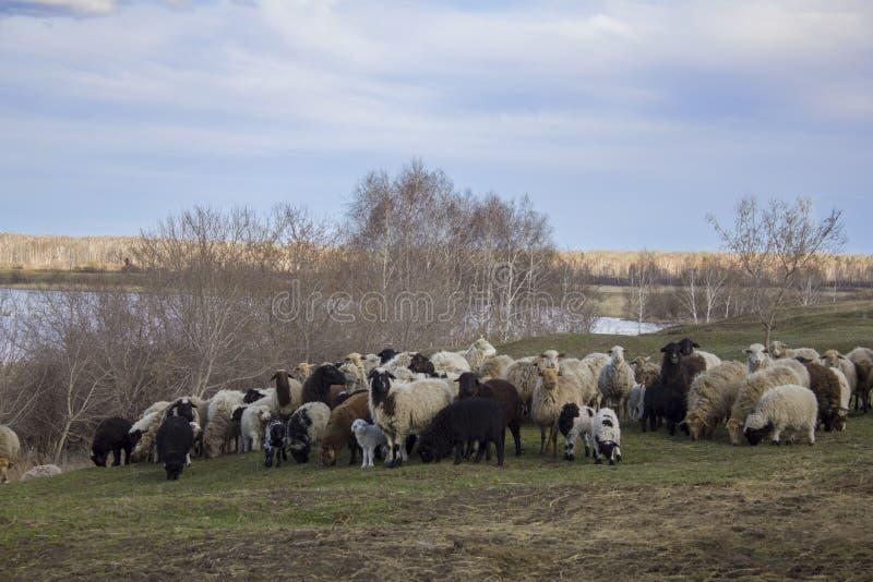 Menge von weißen und schwarzen Schafen mit jungem auf einer grünen Wiese gegen den Hintergrund von trockenen Bäumen und einem Flu stockbild