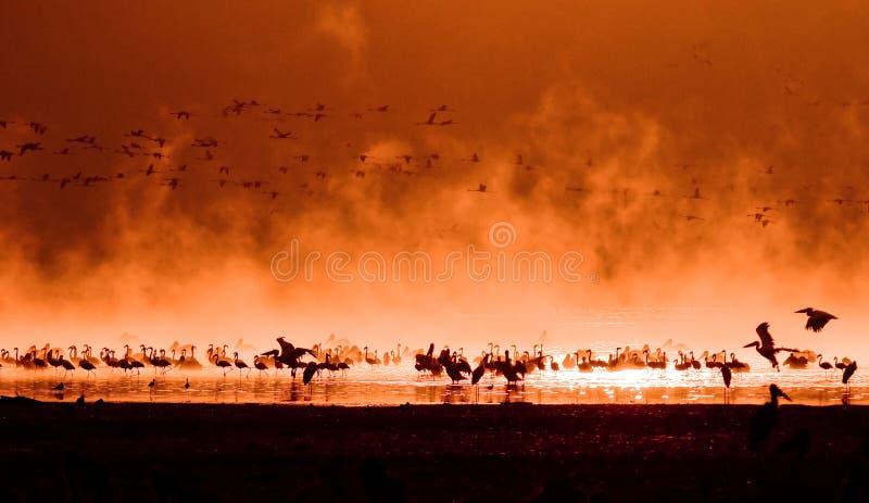 Mengen der Flamingos im Sonnenaufgang stockfotos