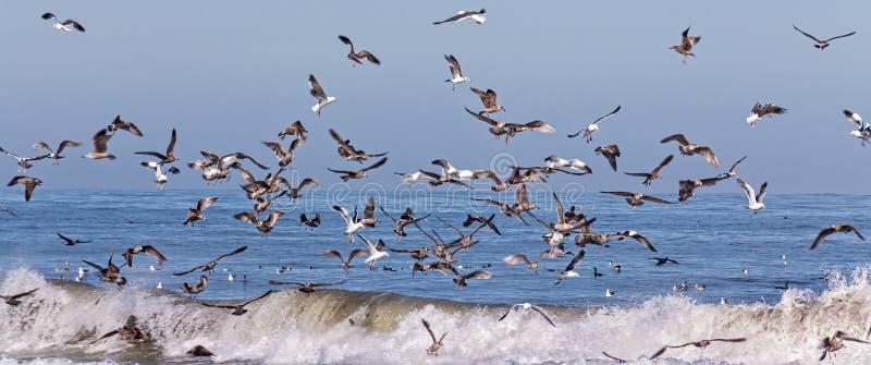 Mengen von den Ozean-Seevögeln, die Panoramablick einziehen lizenzfreie stockfotos
