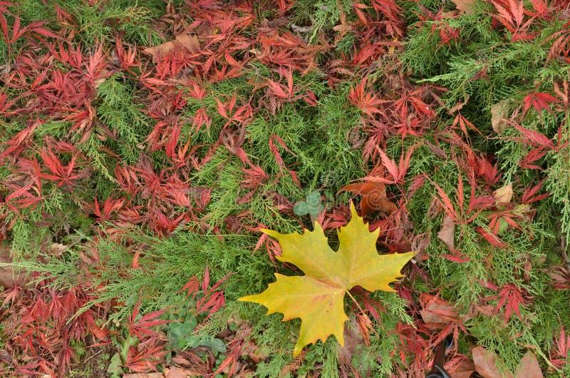 Mengsel van het gele blad van de vliegtuigboom, groene Jeneverbes en rood Japans esdoorngebladerte stock foto