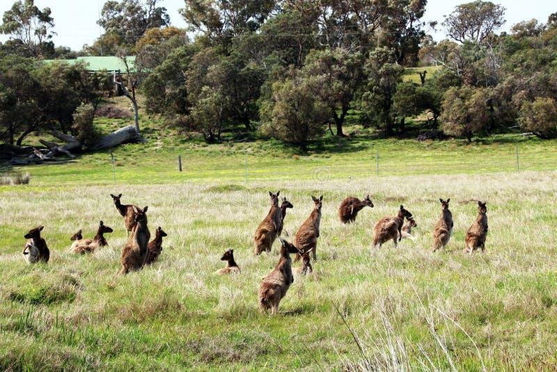 Menigte van Australische Bruine Kangoeroes stock foto's