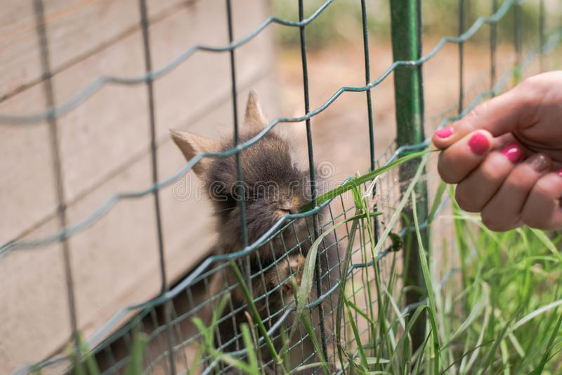 A menina alimenta coelhos pequenos bonitos no jardim zoológico imagem de stock