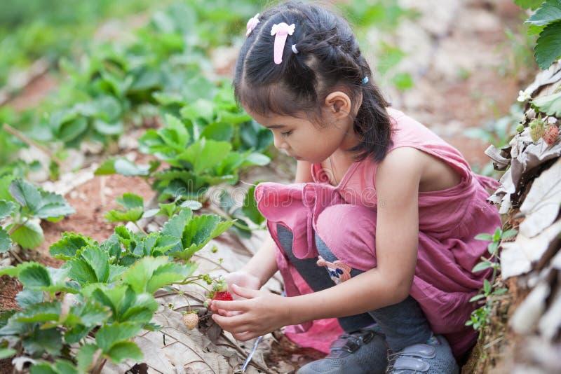 Menina asiática bonito da criança pequena que escolhe morangos frescas fotografia de stock