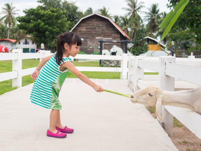 Menina asiática que alimenta um carneiro imagem de stock