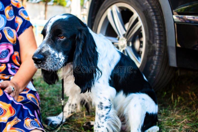 Menina bonito com cão Spaniel de springer inglês imagens de stock royalty free
