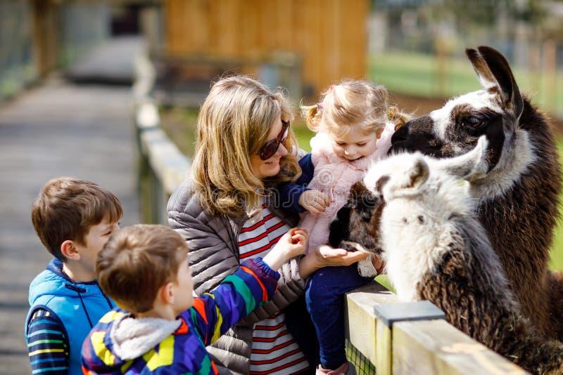 A menina bonito da criança, dois meninos pequenos das crianças da escola e a Lama de alimentação e a alpaca da mãe nova no crianç fotos de stock royalty free