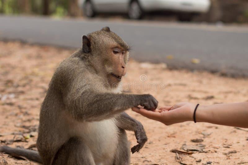 Menina cambojana que alimenta a um macaco amendoins imagem de stock