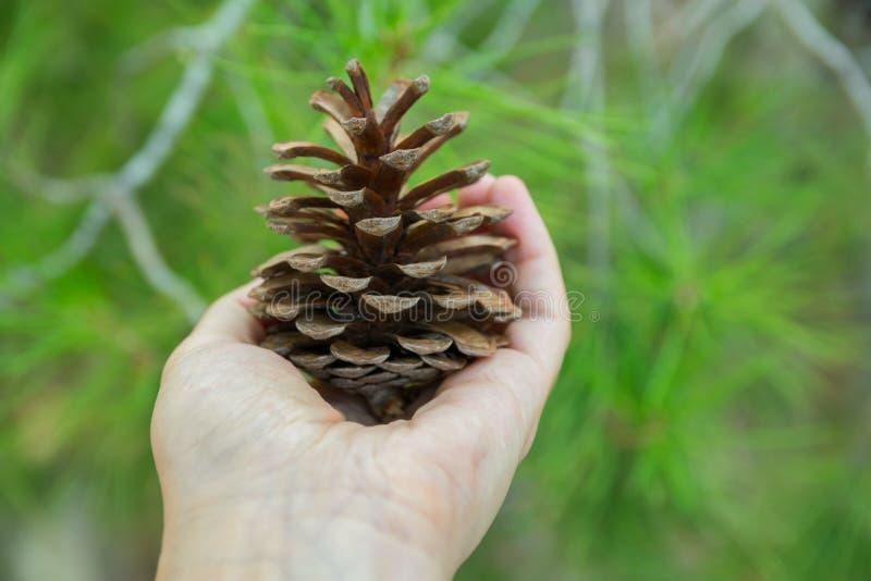 A menina caucasiano nova da mulher guarda o cone disponivel do pinho em Forest Foliage Background Sair consciente da tranquilidad imagem de stock
