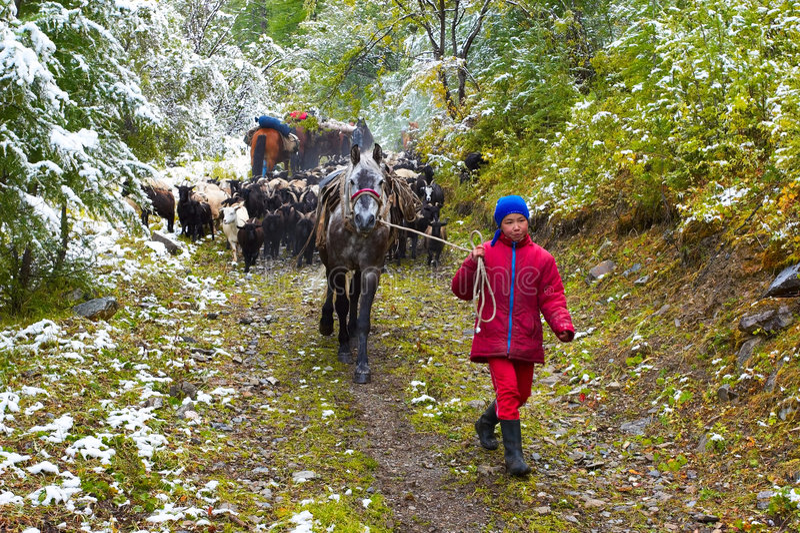 Menina, cavalo e cabras. foto de stock royalty free