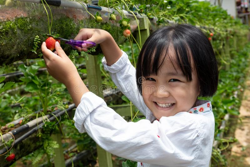 Menina chinesa pequena asiática que escolhe a morango fresca imagem de stock