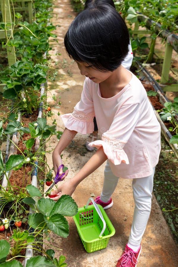 Menina chinesa pequena asiática que escolhe a morango fresca fotos de stock royalty free