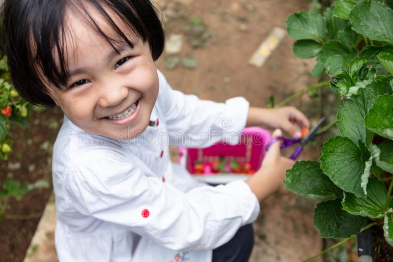 Menina chinesa pequena asiática que escolhe a morango fresca fotografia de stock