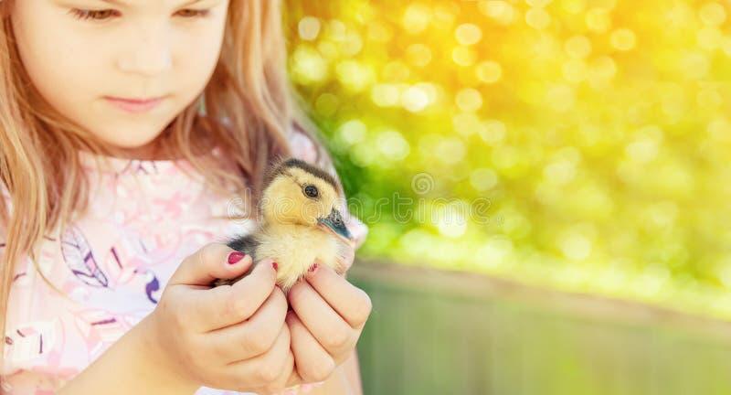 Menina com patinho da mola Aves domésticas nas mãos do c foto de stock