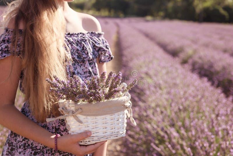 Menina com uma cesta de flores da alfazema em um campo de florescência da alfazema, Provence, França fotografia de stock royalty free