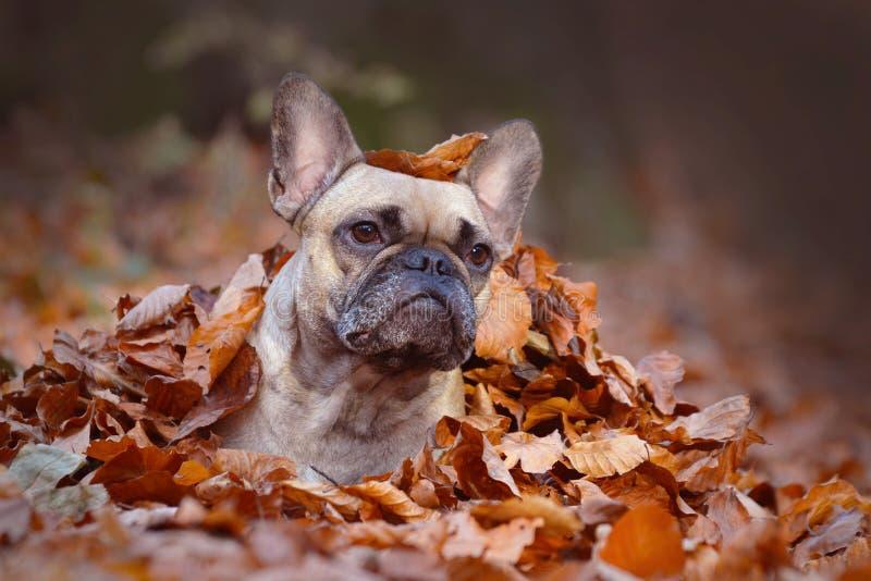 Menina curiosa do cão do buldogue francês da jovem corça que encontra-se na terra da floresta coberta nas folhas de outono colori fotos de stock royalty free