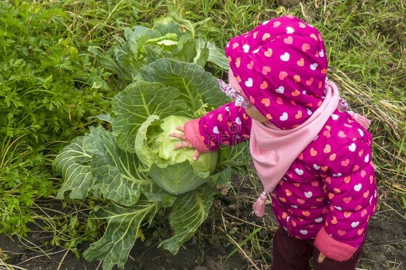 A menina da criança escolhe a couve na horta imagem de stock