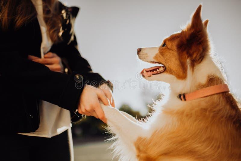 Menina do sorriso com estada fresca do cachorrinho do cão dois border collie no campo verde por do sol do céu no fundo imagens de stock