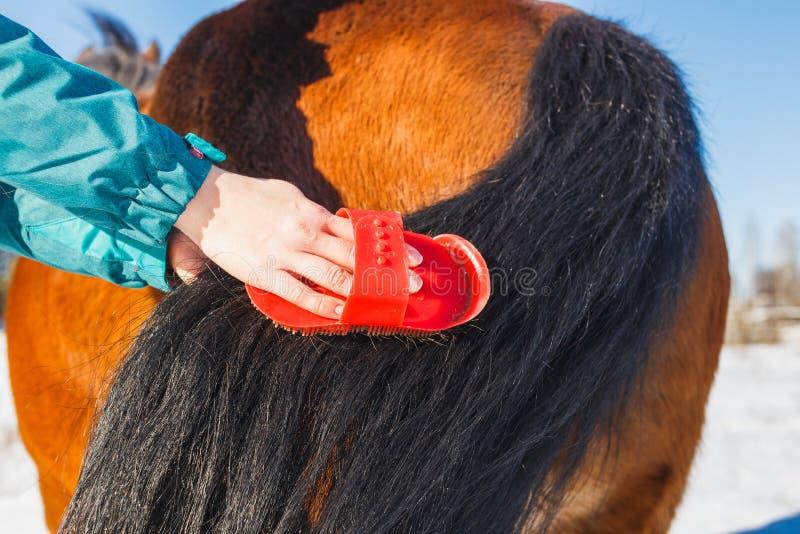 A menina está penteando uma cauda magnífica do cavalo fotografia de stock