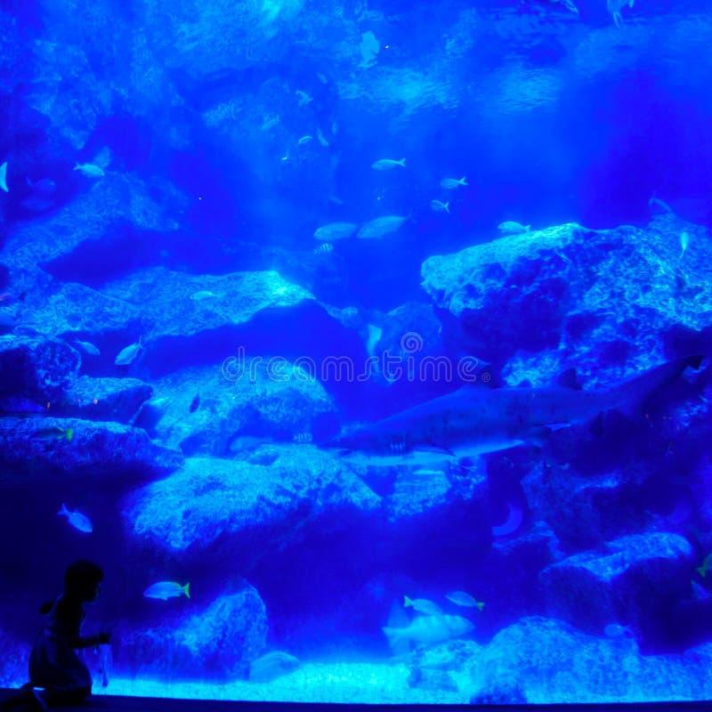 A menina olha o tubarão no aquário azul bonito fotografia de stock