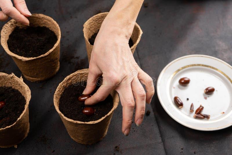 A menina plantou sementes chinensis do lichi em uns potenciômetros da turfa para plântulas crescentes Plântulas crescentes fotos de stock