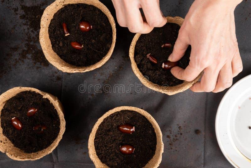 A menina plantou sementes chinensis do lichi em uns potenciômetros da turfa para plântulas crescentes Plântulas crescentes fotografia de stock