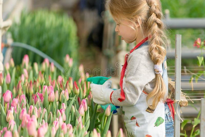A menina polvilha tulipas da água na estufa imagem de stock royalty free