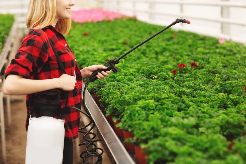 A menina pulveriza as plantas Menina que trabalha nas estufas Plantas do adubo imagem de stock