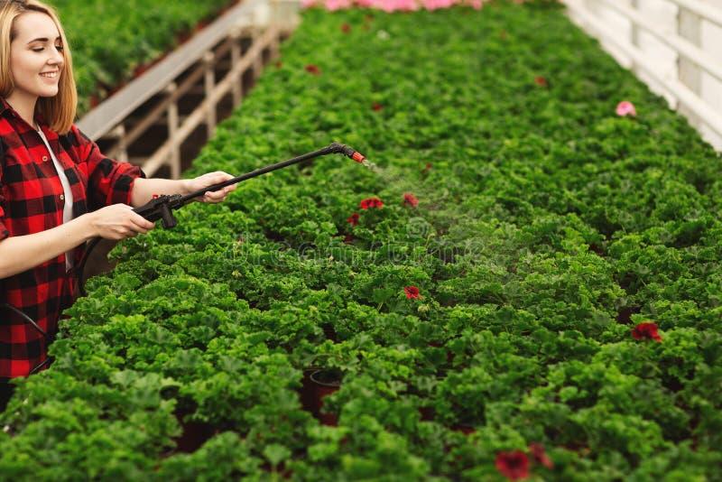 A menina pulveriza as plantas Menina que trabalha nas estufas Plantas do adubo fotografia de stock royalty free
